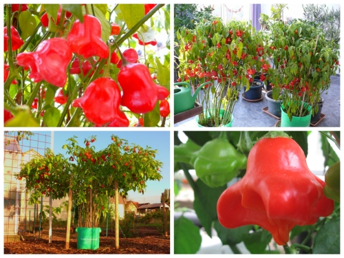 Trọn bộ trồng và chăm sóc hạt giống Ớt Hoa Hồng Leo Giàn F1