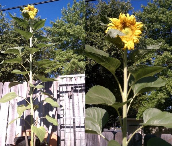 Trọn bộ trồng và chăm sóc hạt giống hoa hướng dương khổng lồ